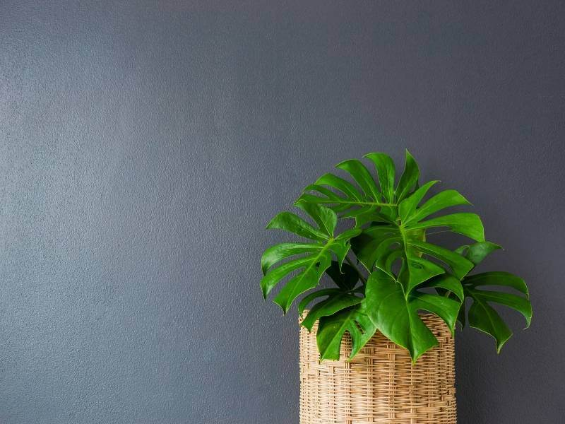 Lacy-tree Philodendron House plants