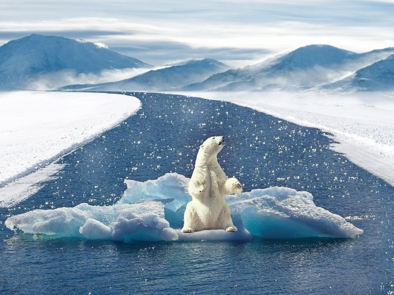 The Stress and Science of Climate Change Polar Bear on ice floating down river.