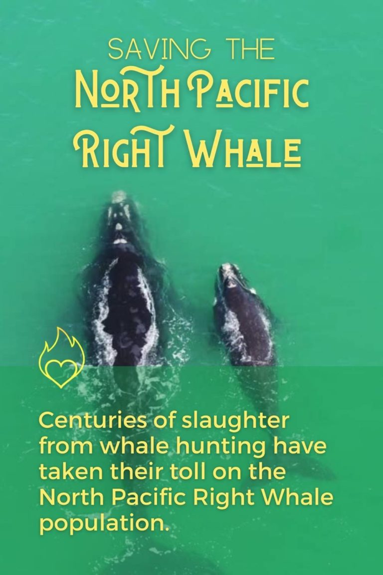Saving the North Pacific Right Whale